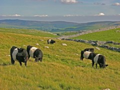 Limestone Country Project, Malham Moor Lane, Belted Galloway's, Yorkshire Dales